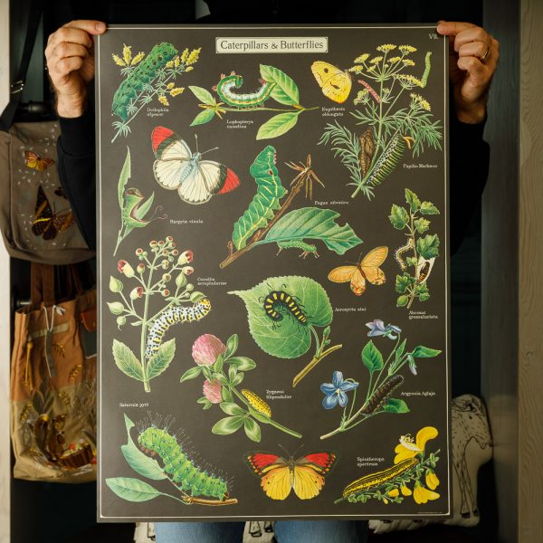 cavallini butterflies and caterpillars poster